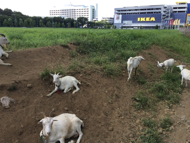 Visit this Tokyo-area Ikea to find furniture, Swedish meatballs, goats, and — wait, goats?!