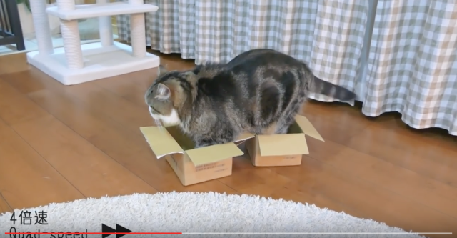 Japanese cat Maru faces biggest dilemma yet: which tiny brown box to sit in