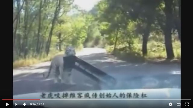 Tiger tears off and steals car bumper at Chinese safari park 【Video】