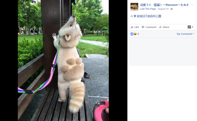 Raccoon gets a summer haircut that makes the Internet go wild【Photos】