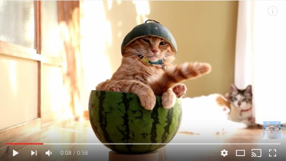 Cute cat beats the Japanese summer heat by chilling out in a watermelon