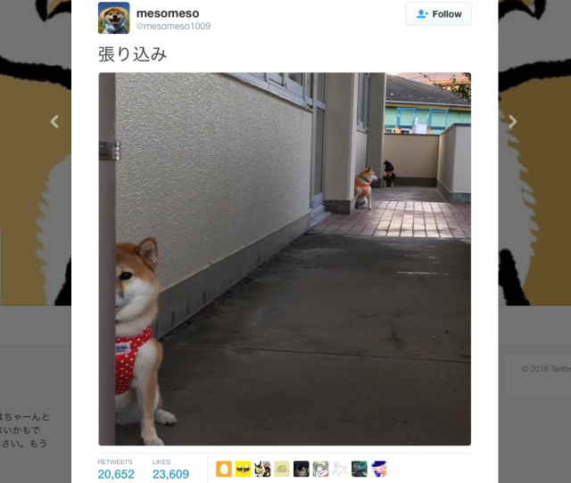 Cute Shiba Inu trio has Internet in stitches over classic stakeout routine