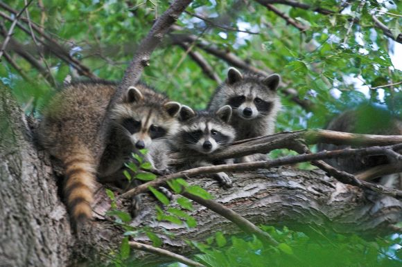 three_raccoons_in_a_tree