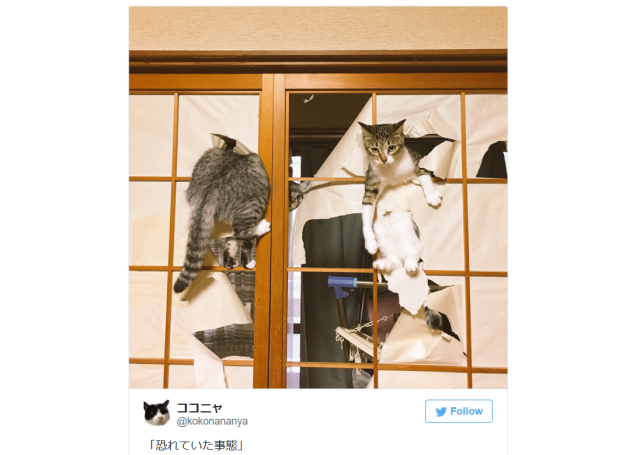 Cats in Japan still unable to resist destroying sliding paper doors in most dramatic way possible