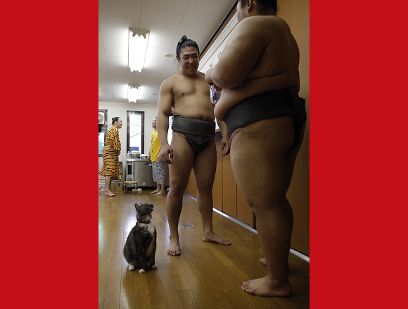 Cats living in Tokyo sumo training facility are champions of cuteness 【Photos】