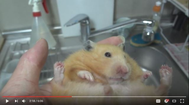 """It's nuts!"" Hamster's tooth trimming turns into surprising magic act"