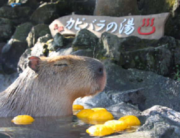 It's getting cold, so it's time for this zoo's capybaras to soak in their Japanese-style bath!