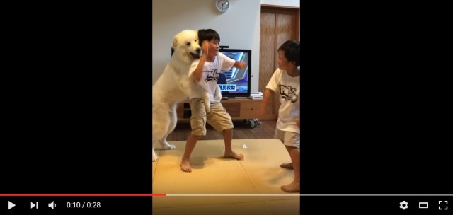 Peace-making Great Pyrenees is everything the world needs this year 【Video】