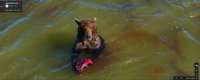 Google Street View catches Russian bear in the middle of snacking on a salmon