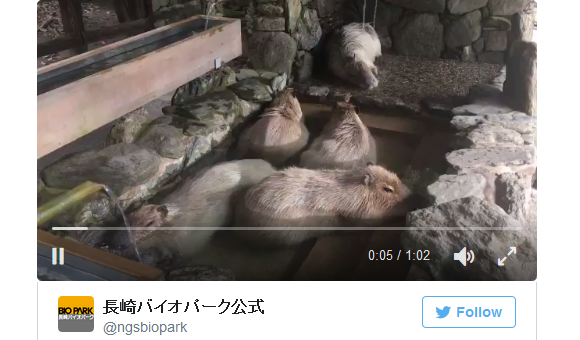 Video of capybaras enjoying a hot spring is just what you need to stay warm right now 【Video】