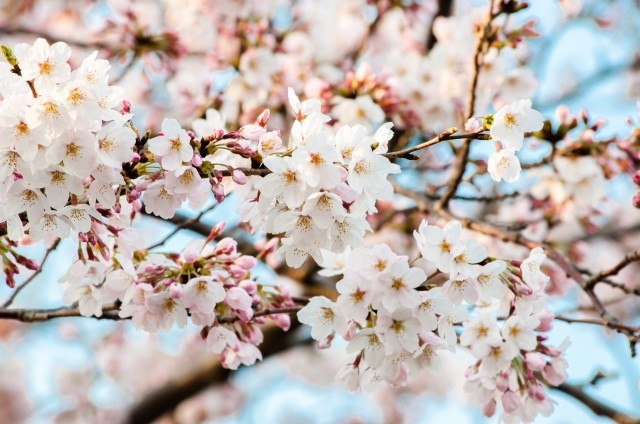 Sakura 2017: Japan Meteorological Corporation releases first national cherry blossom forecast