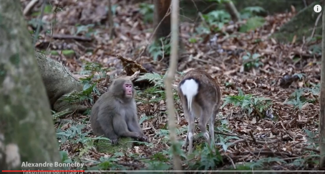 Japanese snow monkey filmed trying to have sex with a deer【Video】