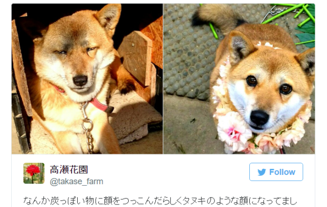 Accessories make the dog as Shiba Inu goes from schoolgirl cute to anime hero macho