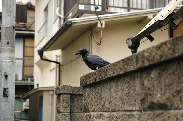 Osaka resident follows Twitter suggestion and befriends neighborhood crows with shocking result