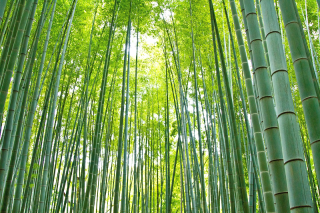 Japanese gang of elementary-school-age bamboo thieves let off the hook for heartwarming reason