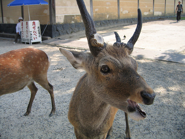 New Nara deer adoption program lets you take home your own pet deer, help with overpopulation!