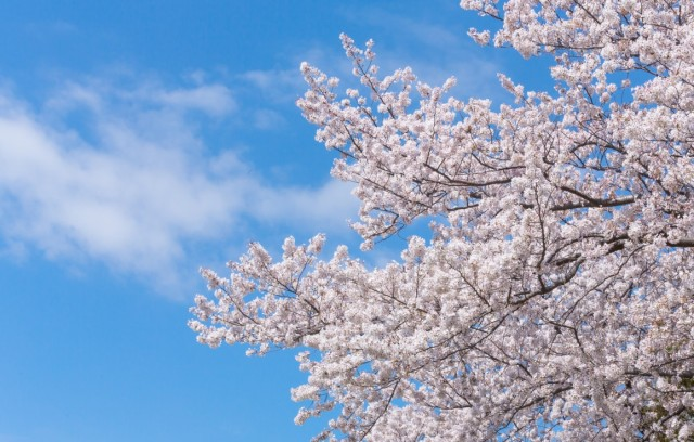 Sakura 2017: The best places to see cherry blossoms in Japan