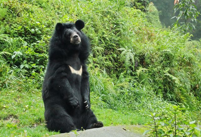 Bear assists police in catching three violent robbers in Tochigi Prefecture