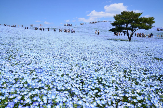 Right now, this amazing Japanese park is bathed in beautiful blue from 4.5 million flowers【Video】
