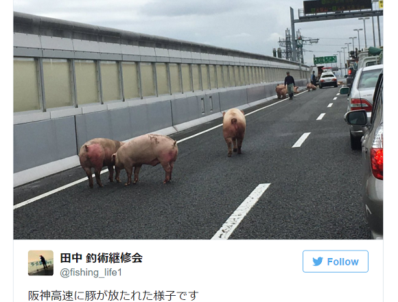 Over a dozen pigs occupy part of the Osaka expressway following delivery truck accident【Video】