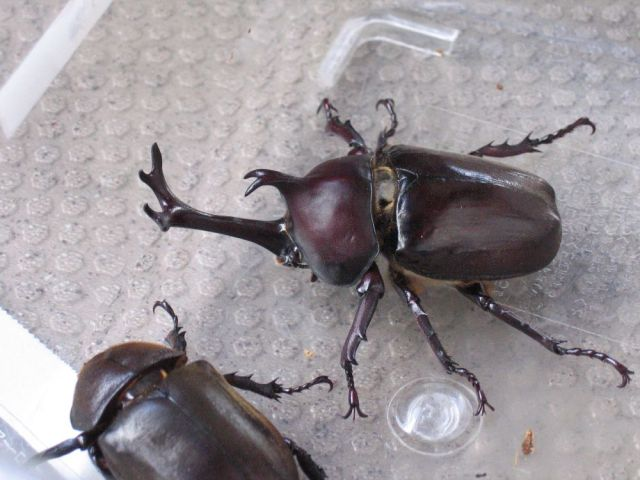 Store serves edible Japanese rhinoceros beetles, apparently pairs well with beer