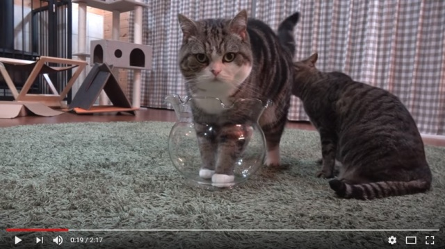 Maru the cat attempts to squeeze his fluffy self into a tiny fishbowl 【Video】