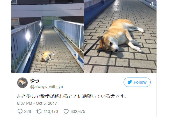 Adorable Shiba Inu is famous on Japanese Twitter for refusing to move when she's having fun【Pics】