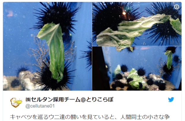 Sea urchins will fight over the same piece of cabbage, Japan is adorably shocked to learn