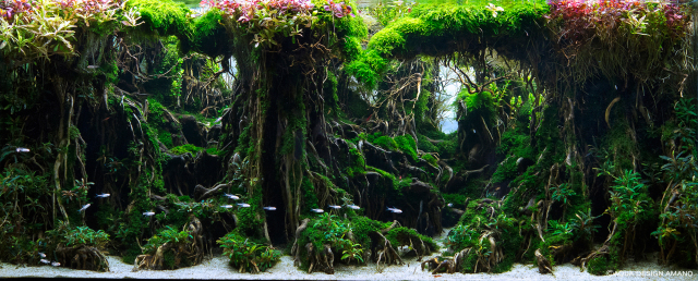 Competitive aquatic plant designs look more like gorgeous jungles than fish tanks