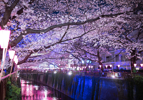 Cherry blossom forecast 2018: Sakura expected to come to Tokyo earlier than usual this year!