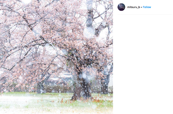 Spring snow falls in Tokyo, creating beautiful images of Japanese sakura cherry blossoms
