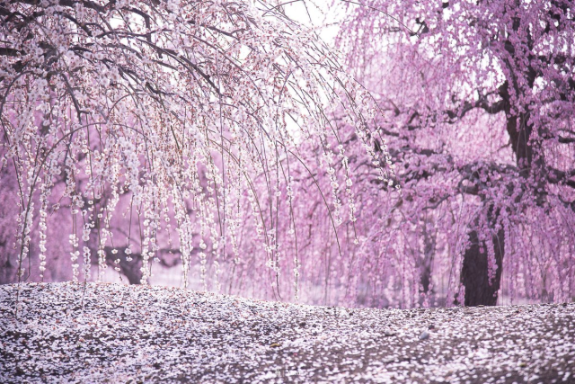 These stunningly beautiful seasonal pink flowers from Japan are NOT cherry blossoms【Photos】