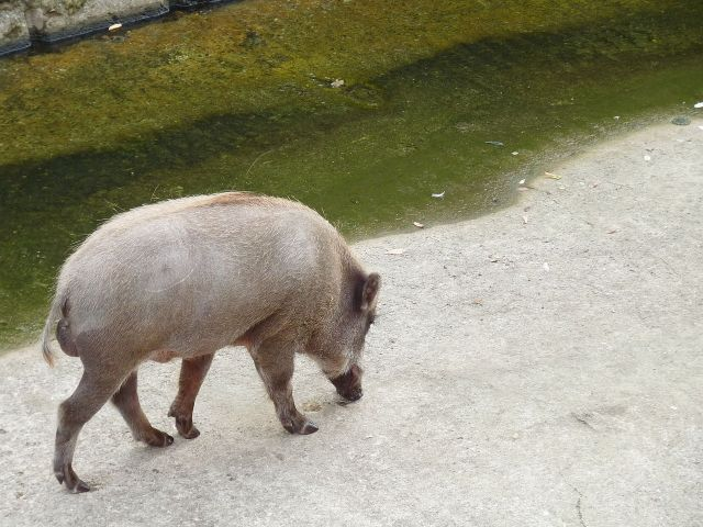 Wild boars tear up Kyoto neighborhood, injure five, flee after 10-minute battle with carpenter