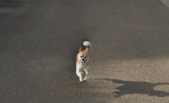Hilarious chase ensues as tiny dog chases Google Street View car in Kagoshima