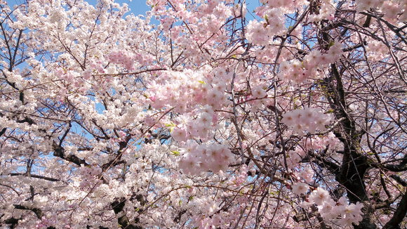 Most Japanese theft ever? Chainsaws taken to flowering cherry blossoms in Osaka