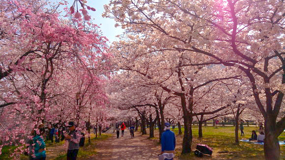 Japanese Twitter gets excited about foreigner getting excited about cherry blossoms