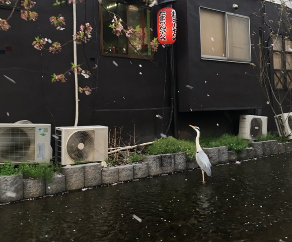 Beautiful Kyoto snapshot of graceful heron in a swirl of sakura has much less artistic backstory
