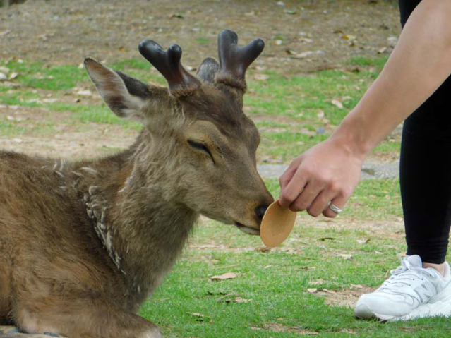 Deer in Nara refuse crackers after Golden Week visitors leave them too full to eat【Photos】
