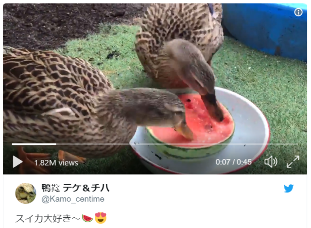 No one has ever loved anything as much as these adorable Japanese ducks love watermelon【Video】