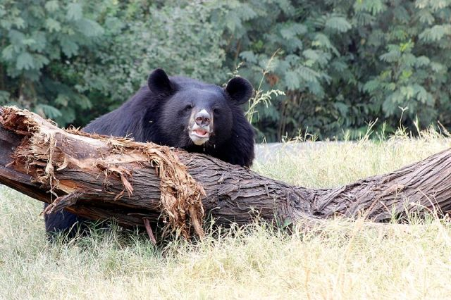Japanese graves and Shinto shrines under attack by bears for their sweet, sweet honey