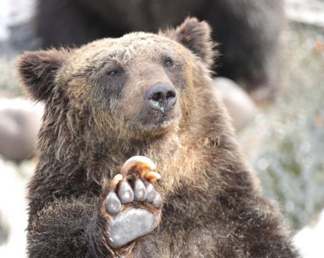 Japanese man wins fight against bear that attacked him by punching it right in the face