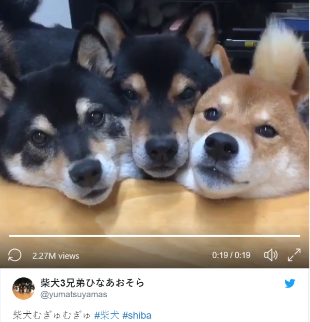 Synchronized Shiba siblings spark spontaneous satisfied squeals【Video】