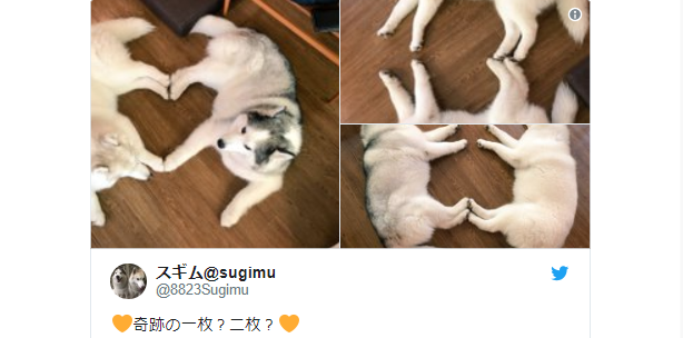 Gorgeous husky dog duo from Japan teaches us how to play cute, sleep cute, live cute