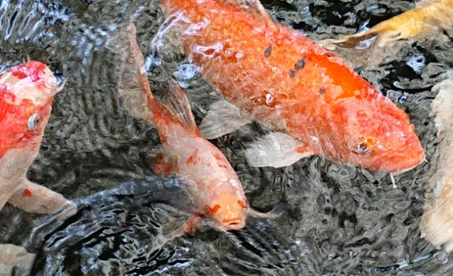 People in Japan go crazy for Japanese koi fish with love hearts on its eyes