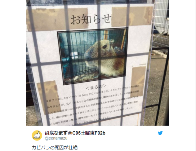 The tragic tale of Maruo the Capybara: Zoo's death announcement sounds like a harrowing drama