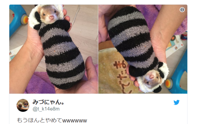 Snuggly ferret makes adorably comfy beds from random household objects, especially loves socks