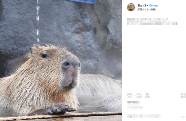 Capybara Onsen Challenge 2019: Which giant rodent can bathe the longest?