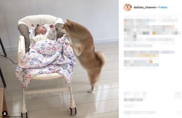 Japanese Shiba Inu stops baby's cries like a doting parent, melts hearts for being a good dog