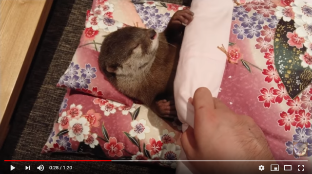 Meet Japan's adorable otter YouTuber, Chiitan!【Video】