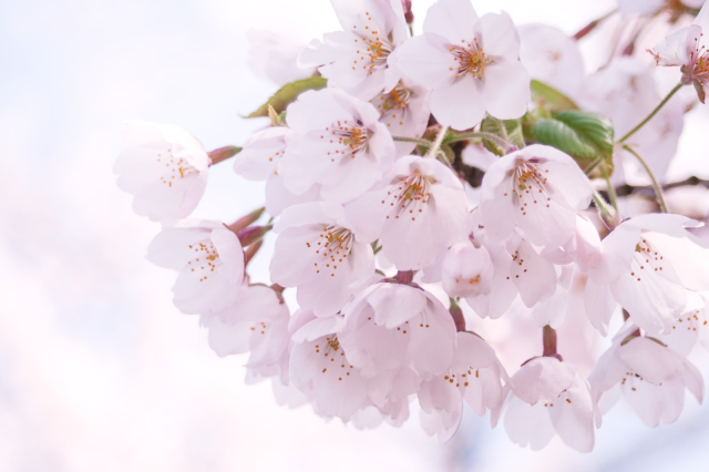Japan cherry blossom forecast 2019! Sakura coming earlier than usual to Tokyo